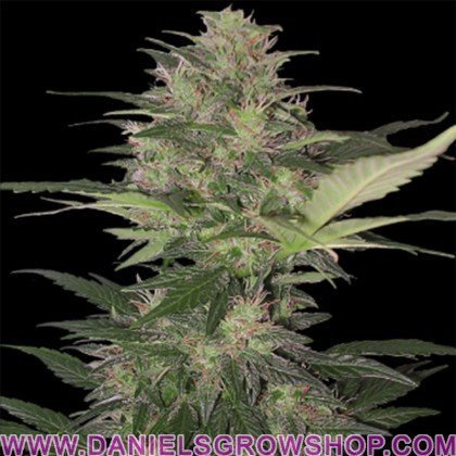 Red Dwarf Auto (Buddha Seeds)