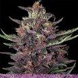 Purple Kush Auto (Buddha Seeds)