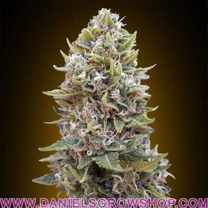 Auto Cheese Berry (00 Seeds)