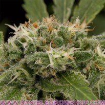 Strawberry amnesia (Dinafem)