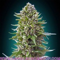 Autofloración Collection 2 (00 Seeds)