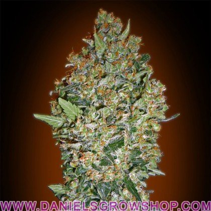 Feminized Collection 1 (00 Seeds)