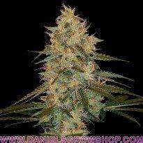 Chocolope Kush (DNA Genetics)
