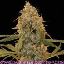 Chocolate Fondue (DNA Genetics)