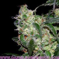 LA Cannalope (DNA Genetics)
