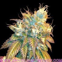 Sour Secret (DNA Genetics)