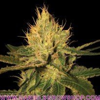 Cannalope Haze (DNA Genetics)