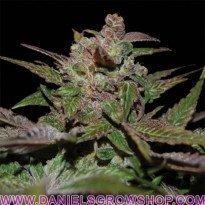 Purple Wreck (DNA Genetics)