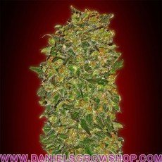 Feminized Collection 2 (00 Seeds)