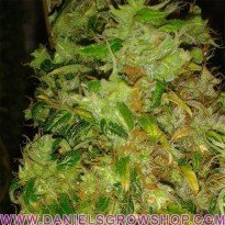 Skunk 11 (Dutch Passion)