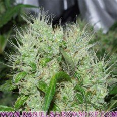 Orange Bud (Dutch Passion)