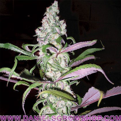 Blueberry (Dutch Passion)