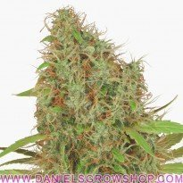 Dutch Haze (Dutch Passion)