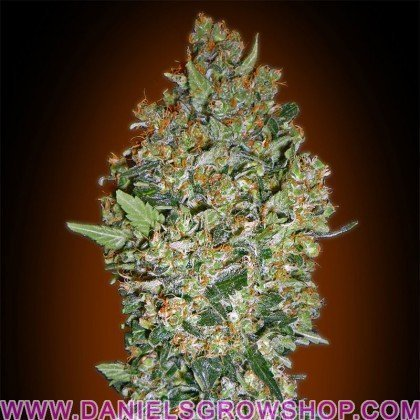 Cheese Berry (00 Seeds)