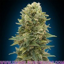 Feminized mix (00 Seeds)