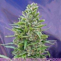Autofloracion Mix Auto (00 Seeds)
