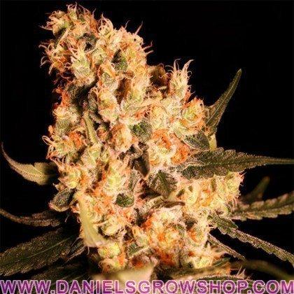 Jamaican Dream (Eva Seeds)