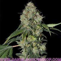White Dragon (Eva Seeds)