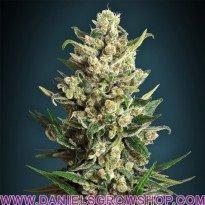Ice Kush (Advanced Seeds)