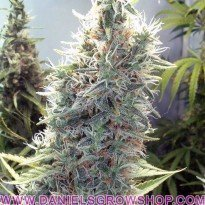C99 (Female Seeds)