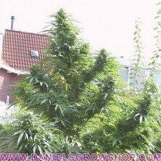 Easy Sativa (Female Seeds)