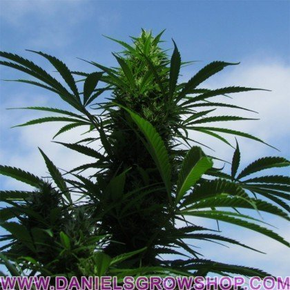 XL Outdoor C´99 (Female Seeds)