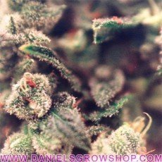 Sweet Soul (Female Seeds)
