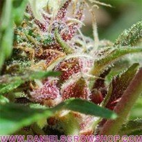 Red Purps (Female Seeds)