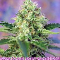 Crystal Candy 3 fem (Sweet Seeds)