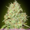 Shark Widow (Advanced Seeds)