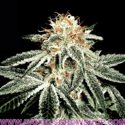 White Widow (Green House)