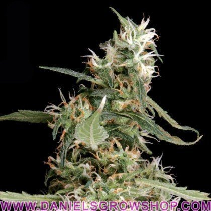 Arjan´s Ultra Haze 1 (Green House)