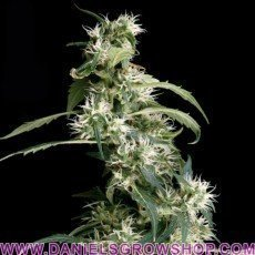 Arjan´s Ultra Haze 2 (Green House)