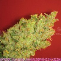 Jack La Motta (Medical Seeds)