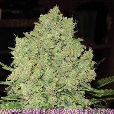 Prozack (Medical Seeds)