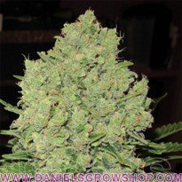 Prozack (Medical Seeds)