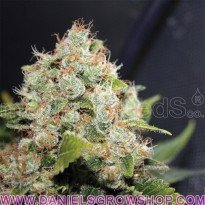 Sour Diesel (Medical Seeds)
