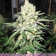No Name (Medical Seeds)