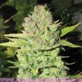 Devil Fruit (Medical Seeds)