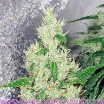 Y Griega (Medical Seeds)