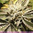 Canadian Kush (Medical Seeds)