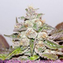 Mendocino Purple Kush (Medical Seeds)