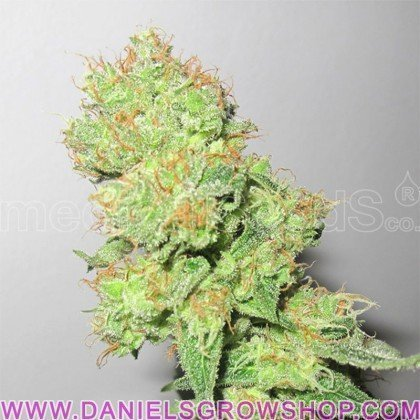 Y Griega CBD (Medical Seeds)