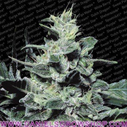 Nebula (Paradise Seeds)