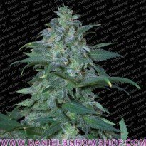 Magic Bud (Paradise Seeds)