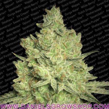 Jacky White (Paradise Seeds)