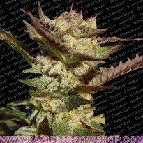 Durga Mata (Paradise Seeds)