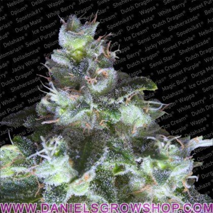 Original White Widow (Paradise Seeds)