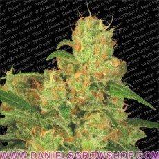 Auto Acid (Paradise Seeds)