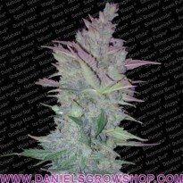 Vertigo Auto (Paradise Seeds)